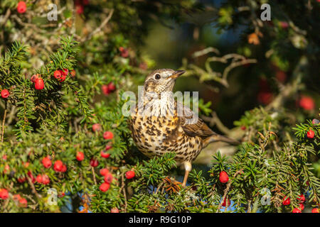 Mistle Thrush; Turdus viscuvorus; on yew tree; UK - Stock Photo