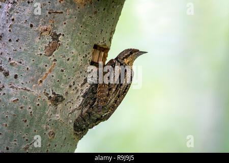 Wryneck; Jynx torquilla Single at Nest Hole Hugary - Stock Photo