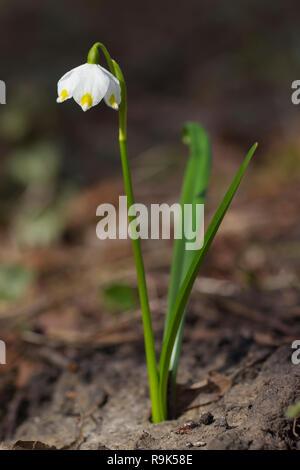 Spring snowflake (Leucojum vernum / Galanthus vernus) in flower in spring - Stock Photo