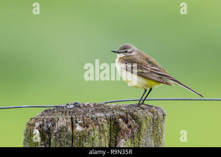 Junge Schafstelze, Motacilla flava, young western yellow wagtail - Stock Photo