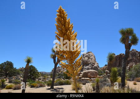 A tall, straight yucca growing in Joshua Tree National Park, California, USA. In the Hidden Valley, Mojave Desert - Stock Photo