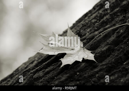 Maple leaf on a tree trunk in autumn - Stock Photo