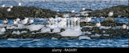 Antarctica, Antarctic peninsula, Gerlach Straight, Wilhelmina Bay in the Enterprise Island area. Antarctic terns (Sterna vittata) on rocky outcrop. - Stock Photo