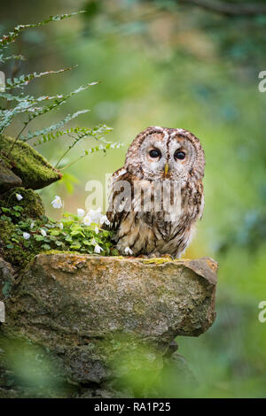 Sitting on the moss covered dry stone wall, amongst the the ferns & Wood Sorrel, a sleepy Tawny Owl stares through the foliage back towards the camera - Stock Photo