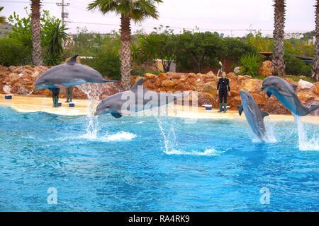 Butlonos zwyczajny - znany tez jako Butlonos, Delfin butelkonosy, Delfin butlonosy albo  Afalina - lac. Tursiops truncatus - w ogrodzie zoologicznym Common bottlenose dolphins, known also as Atlantic - Stock Photo