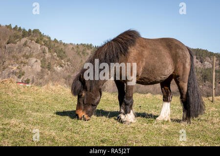 Little Brown Pony Grazing on a field in early spring in Norway in april. Mountain in the background, blue sky. - Stock Photo