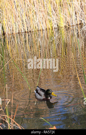 A male Mallard duck swimming in a pond surrounded by cattails, in a desert wetland oasis, in Arizona, USA - Stock Photo