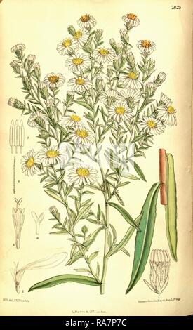 Botanical Print by Walter Hood Fitch 1817 – 1892, W.H. Fitch was an botanical illustrator and artist, born in Glasgow reimagined - Stock Photo