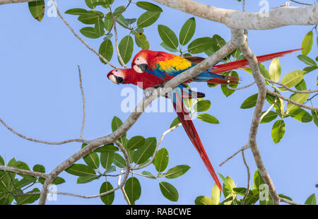 Scarlet Macaw (Ara macao), a pair on a tree branch, Puntarenas, Costa Rica - Stock Photo
