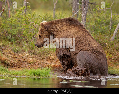 Eurasian brown bear climbing on shore from water after swimming in pond, summer in Finland. - Stock Photo
