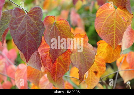 Cercis canadensis. Autumn leaves of Cercis Canadensis Forest Pansy, also called American redbud, October, UK - Stock Photo
