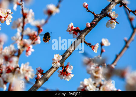 Blooming apricot tree in spring time. Blossoming apricot flowers. Flowering apricot tree in Latvia; Apricot flowers on the background of blue sky. Bum - Stock Photo