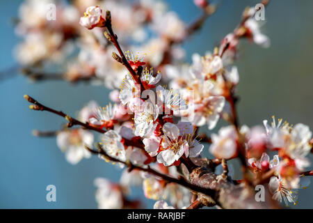 Blooming apricot tree in spring time. Blossoming apricot flowers. Flowering apricot tree in Latvia; Apricot flowers on the background of blue sky. Apr - Stock Photo