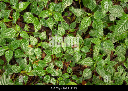 close up of lush green plant on forest floor, Bwindi Impenetrable National Park, Uganda, Africa - Stock Photo