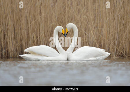 Whooper Swans ( Cygnus cygnus ), couple displaying, forming a love heart, Europe. - Stock Photo