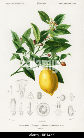 Lemon (Citrus Limonium) illustrated by Charles Dessalines D' Orbigny (1806-1876). Digitally enhanced from our own 1892 edition of Dictionnaire Universel D'histoire Naturelle. - Stock Photo