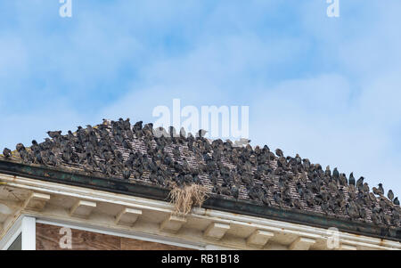 Murmuration of Common Starlings (Sturnus vulgaris) packed together and perched on a rooftop in Summer in West Sussex, England, UK. - Stock Photo