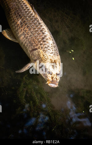 Close up of a koi carp fish in a pond - Stock Photo
