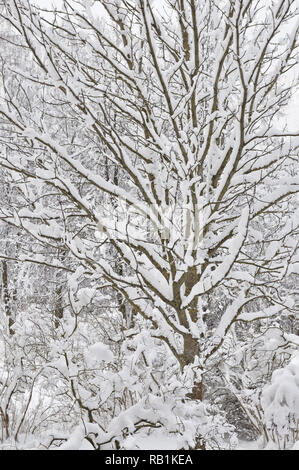 Snowy winter trees, fresh new snow covered branches after blizzard snowstorm, heavy snowfall drifts multiple tree twigs detail large detailed vertical - Stock Photo