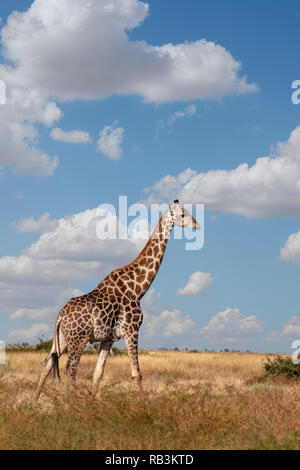 Beautiful South African giraffe preparing to feed from ground, Chobe National Park, Savuti Botswana safari wildlife - Stock Photo