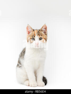 portrait of beautiful white grey and brown little pet cat kitty sitting on white background in studio with copyspace - Stock Photo