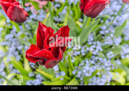 Red Tulio blooming in Bucharest Gardens in Victoria, BC, Canada - Stock Photo