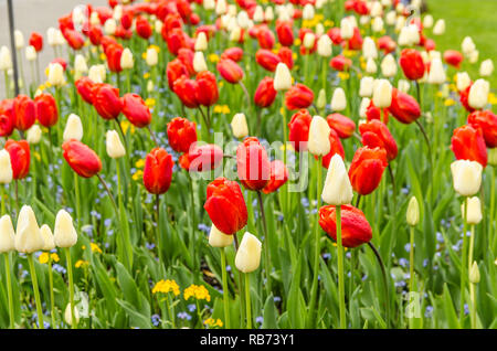 Beautiful and colorful tulips in Buchart gardens in Victoria,BC, Canada - Stock Photo