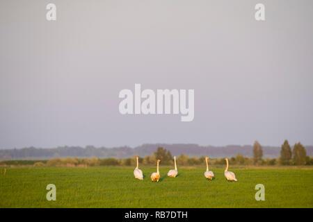 Group of  Whooper Swan (Cygnus cygnus) on rural area. Latvia. - Stock Photo