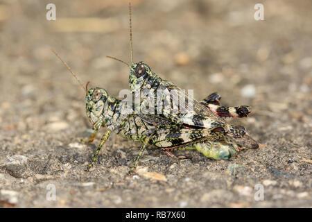 Mating pair of Pine Tree Spur-throat Grasshoppers (Melanoplus punctulatus) - Stock Photo