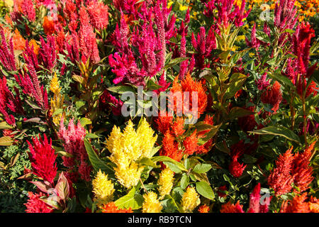 Celosia Plumosa,Celosia argentea,Celosia, red flowers - selection of flowers in the garden. - Stock Photo
