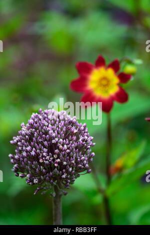 allium aummer drummer,alliums,round flowerheads,purple,white,flowers,summer flowering allium,RM Floral - Stock Photo