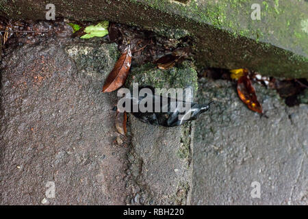 Black fallen leaf lying on ground. Dead and rotten dark leaves on concrete stair - Stock Photo