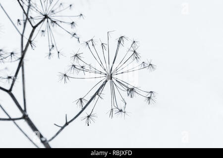 Frozen umbrella flowers covered with frost in cold winter - Stock Photo