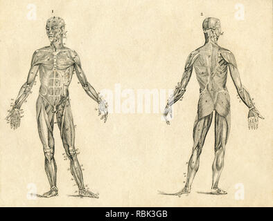 Human muscle anatomy vintage drawing engraved illustration - Stock Photo