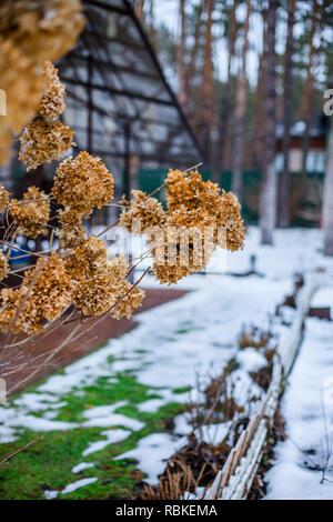 Dry branch hydrangea on a bush in the garden in winter. Snowdrifts of snow in the garden. - Stock Photo