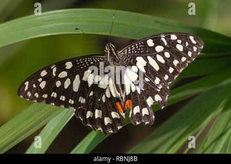 A lime/Lemon Butterfly or Lime/Chequered Swallowtail on a red flower (Papilio demoleus) in Abu Dhabi, UAE with a green plant background. - Stock Photo