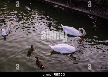 Swans. Swans and ducks in the pond in the Park of Benalmadena, Andalusia, Spain. - Stock Photo
