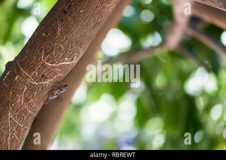Cicada Bug , Cicada insect on wood on tree with green background. - Stock Photo