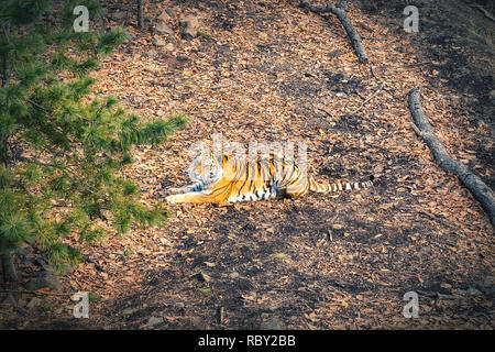 Amur tiger resting in the forest in Russia - Stock Photo