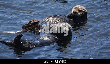 Pair of playful sea otters in Morro Bay California. - Stock Photo
