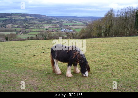 A breed of small horse, probably gypsy horse, eating grass in the North Downs near Shoreham, Kent, on the hillside above Filston Lane - Stock Photo