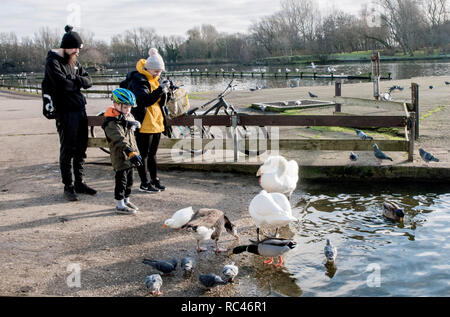 Couple and young boy feeding and photographing Swans on Stanley Park lake Blackpool Lancashire England UK - Stock Photo