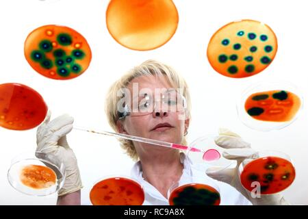 Laboratory technician working with bacteria cultures in petri dishes in the lab - Stock Photo
