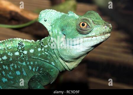 Plumed Basilisk (Basiliscus plumifrons) - Stock Photo
