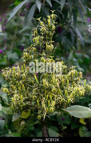 Musschia wollastonii,pyramidal mass unusual flowers,madeira,greenish yellow flowers,flowering,monocarpic,RM Floral - Stock Photo