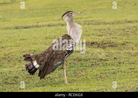 Kori Bustard (Ardeotis kori) male displaying on the savannah in Ngorongoro Crater, Tanzania - Stock Photo