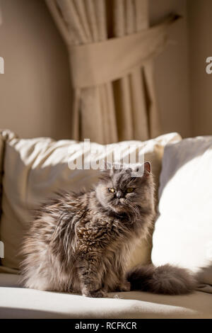 Vertical shot of fluffy gray persian cat sitting on beige sofa. Shot with harsh light - Stock Photo