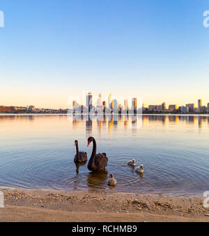 Perth, Western Australia. Two black swans - Cygnus atratus - and their cygnets on the shores of the Swan River in South Perth - Stock Photo