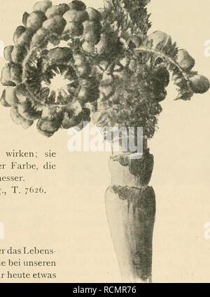 . Die Gartenwelt. Gardening. Calliandra fulgens Hook, f. — Die Gattung Calliandra zählt iibcr 100 Arten. Unter diesen vielen sind aber nur wenige von handelsgärtnerischem Wert. Die neu beschriebene Art, C. fulgens, ist von strauchartigem Habitus und stammt aus Mexiko. Sie er- zeugt Blütenstände, die ähnlich wie diejenigen der Brownea durch die Länge, Zahl und Pracht ihrer Staubgefäfse ganz besonders schön wirken; sie sind von sehr dunkler, scharlachroter Farbe, die lüütenköpfe haben 6—7 cm Durchmesser. Bot. Mag., T. 7626. Stauden. Dictamnus Fraxinella. — Über das Lebens- alter dieser interessa - Stock Photo