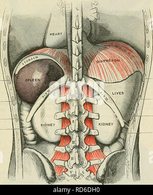 . Cunningham's Text-book of anatomy. Anatomy. THE SPLEEK 1353 gastric, and renal surfaces; anterior, at the junction of the diaphragmatic, gastric, and basal surfaces; posterior, at the junction of the diaphragmatic, renal, and basal surfaces; intermediate, at the junction of the renal, gastric, and basal surfaces. In a spleen of orange-segment form there are but two angles, a superior and an anterior. The superior is bounded in the same way as in the tetrahedral form; the anterior, by the dia- phragmatic, gastric, and renal surfaces. In all spleens, but most commonly in those of oblique, irre - Stock Photo